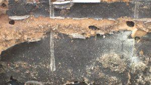 fourmis charpentières avant